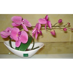 ORCHIDEE PARME